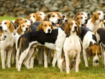 Piedmont Fox Hounds Opening Day by Joanne   Maisano