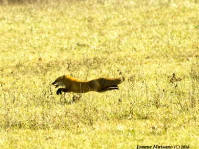 Flat out Fox by Joanne   Maisano