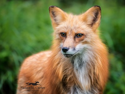 Red Fox by Susan Carter
